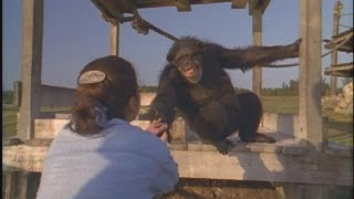 Download Emotional Reunion with Chimpanzees Video