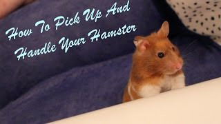 Download How To Pick up and Handle Your Hamster Video
