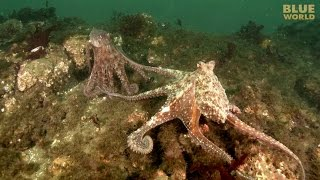 Download Giant Pacific Octopus Adventure | JONATHAN BIRD'S BLUE WORLD Video