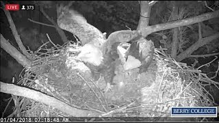 Download Berry College Eagles~Dad's First Look at Egg; First Shift Change 1.4.18 Video
