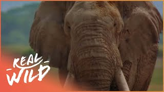 Download Elephants On The Run [Wildlife Documentary] | Real Wild Video