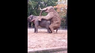 Download Paarung Elefanten Berliner Zoo Video