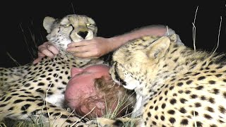 Download Baby African Cheetah Cubs Hiss Spit Slap Stomp Growl then LOVE Surrogate Mother - A Volunteer Video