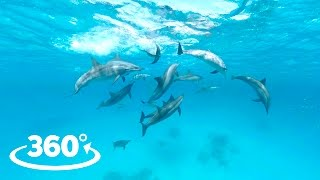 Download Wild Dolphins VR / 360° Video Experience Video