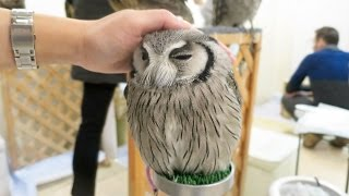 Download Cute Owls EVERYWHERE at Japan's Owl Cafe! Video