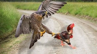 Download Eagle Vs Rooster Who Will Be The Winner? Video