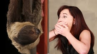 Download A Girl Obsessed With Sloths Gets Surprised With A Sloth Video