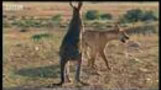 Download Wallaroo vs dingo - BBC wildlife Video