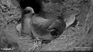 Download Tender Preening as Male Returns to the Burrow on the Bermuda Cahow Cam Video