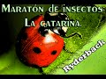 Download Maratón de insectos: La catarina. Video