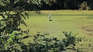 Download Wildlife and Nature Sightings: Great Blue Heron, Mallard Duck Mates, Deer Video