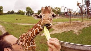 Download Feeding Giraffes in 360° at Busch Gardens' Serengeti Safari Video