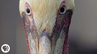Download How Do Pelicans Survive Their Death-Defying Dives? | Deep Look Video