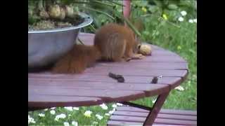 Download Volg de eekhoorn: lastige noten Video