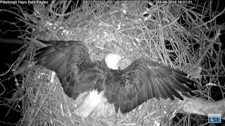 Download Hays Nest - Hays Eagles - Female Defends Nest - Raccoon Intruder - Part 1 - 3-8-18 Video