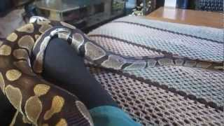 Download Snakes Make Great Pets And Companions !! Video