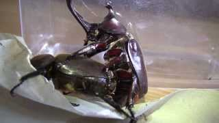 Download Japanese Rhinoceros Beetles - Mating Video