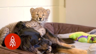 Download This Dog Raises Baby Cheetahs (And Wallabies and Ocelots) Video
