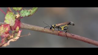 Download A wasp with a strange-looking body (RX10 Mark IV) Video