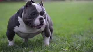 Download American Bully Video