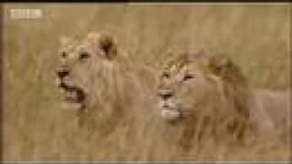 Download King lion under attack - BBC wildlife Video