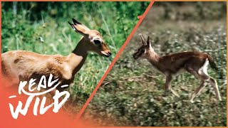 Download Fawn identity [Impala and Gazelle Documentary] | Wild Things Video