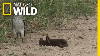 Download Is this Mongoose Playing Dead or Just Playing? | Nat Geo Wild Video