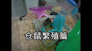 Download 三线仓鼠繁殖篇 Hamster Matching Video