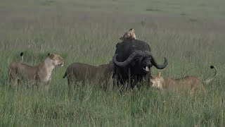 Download SafariLive Jan 26 -Sausage Tree lion pride pulled down a huge buffalo! bull Video