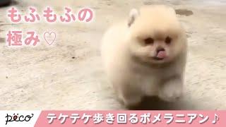 Download もふもふかわいいポメラニアンがテケテケ歩き回る♪【PECO TV】 Video