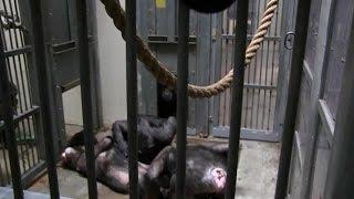 Download Bijzonder: zo nemen apen afscheid van overleden aap - RTL LATE NIGHT Video