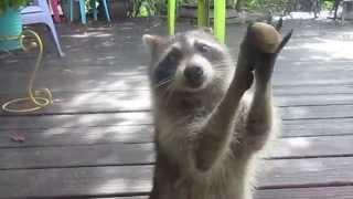 Download Rocksy the Raccoon knocks at the door for food! LOL Video