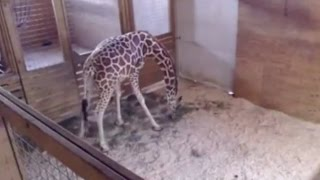 Download Live Giraffe Birth Pulled From YouTube For... NUDITY??? Video