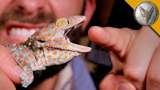 Download CHOMPED by a GECKO! Video