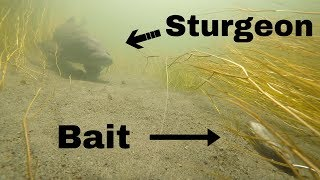 Download Sight Fishing for Monster Sturgeon in a tiny Creek (Underwater View!) Pt. 3 Video