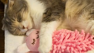 Download 人形を抱きしめる可愛い猫 Cute Cat Hugs Doll Video