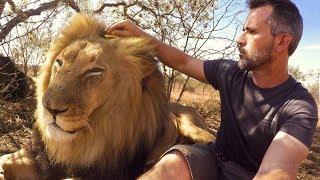 Download Brushing Bongani   The Lion Whisperer Video