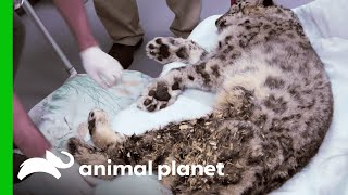Download Zookeepers Have Made A Very Difficult Choice About This Ailing Snow Leopard Video