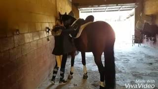 Download CAMPERO PALO III - Tacking up and preparing - PRE piro-negative dressage horse - For Sale - TBSH Video