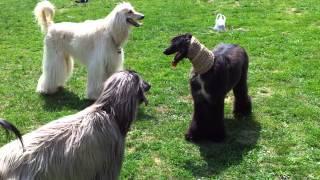 Download Galgo Afgano. Simba y Apache con amigos Video