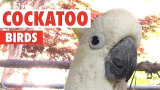 Download Funny Cockatoo Video Compilation 2018 Video
