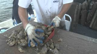 Download New Way to Grow Oysters Video
