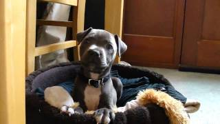 Download Blue Staffordshire Bull Terrier Attack WARNING!!! Video
