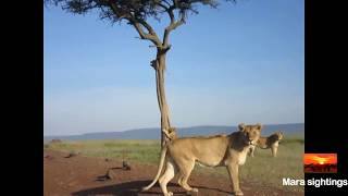 Download lion cub gets stuck in a tree and mom runs to help Video