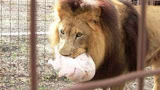 Download 4 Turkeys 3 Tigers 1 Lion... Video