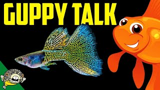 Download Lets talk Guppies. Fancy Guppy lovers unite! Live Stream Video