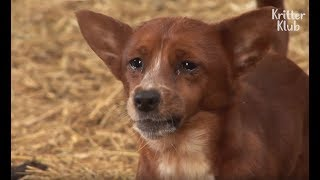 Download Cow Gets Separated From The Dog That She Raised.. (Part 2) | Kritter Klub Video