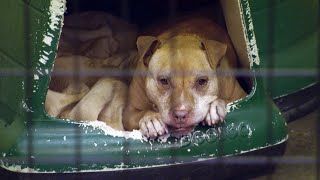 Download This 14-Year-Old Pit Bull Is Finally Headed To Her Forever Home | Pit Bulls & Parolees Video