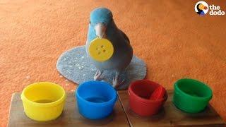 Download Bird Color Trick: Bird Understands Colors | The Dodo Video
