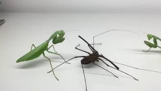 Download Giant Mantis with Whipspider Video